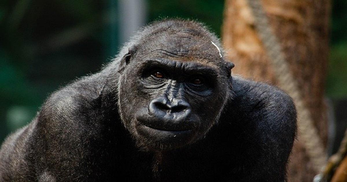 gorilla-5565295_640